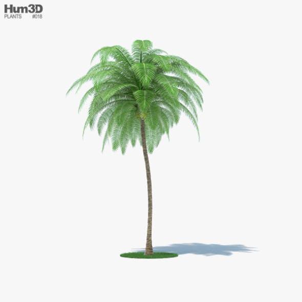 Coconut Palm - 3DOcean Item for Sale
