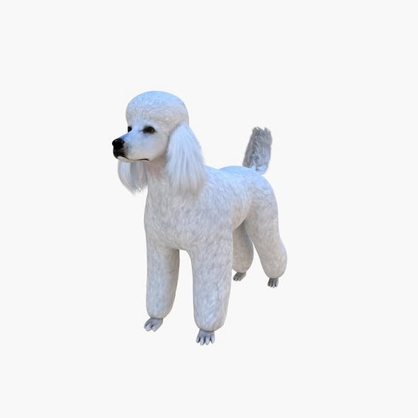 Poodle Big Dog