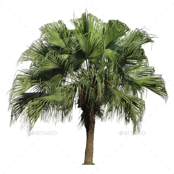 Chinese Fan Palm Cut Out Image -1 - 3DOcean Item for Sale