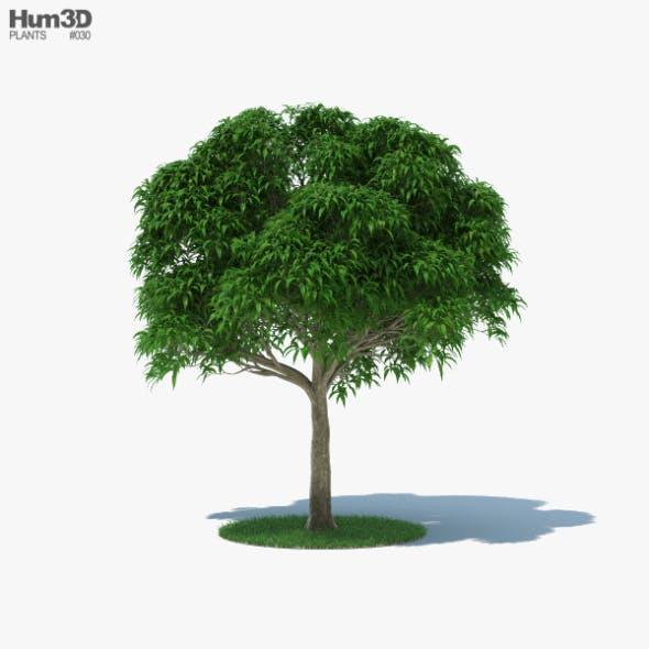Mango Tree - 3DOcean Item for Sale