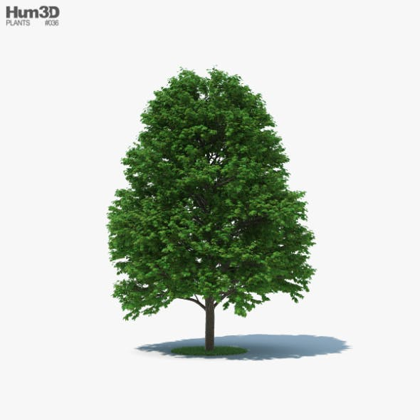 Sugar Maple Tree - 3DOcean Item for Sale