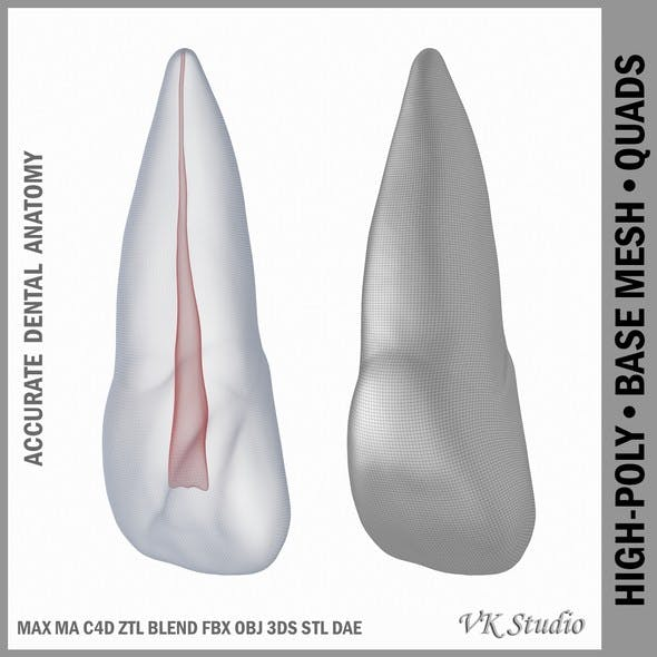 Human Upper Left Central Incisor Tooth With Pulp Cavity - 3DOcean Item for Sale