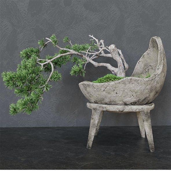 Decorative pine tree bonsai.