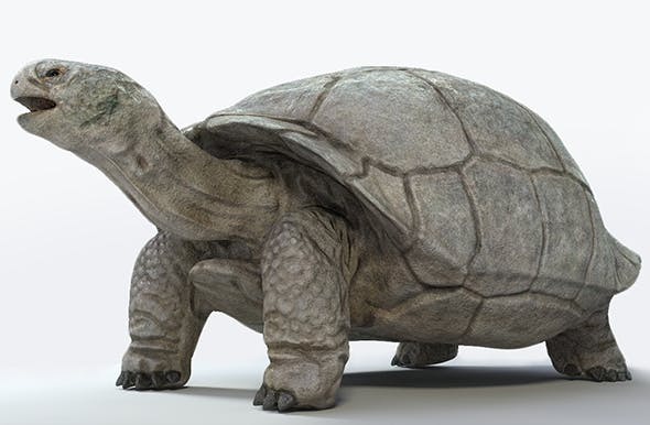 Galapagos Tortoise - 3DOcean Item for Sale