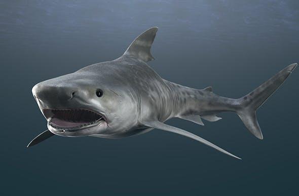 Tiger Shark Rigged - 3DOcean Item for Sale