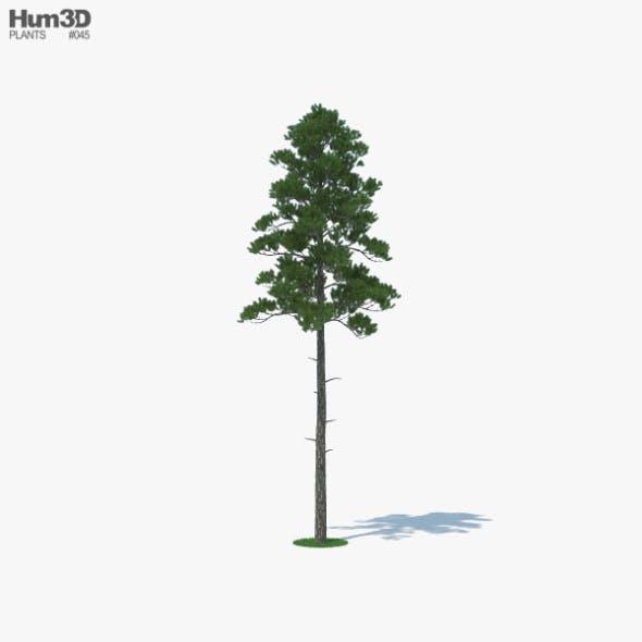 Loblolly Pine - 3DOcean Item for Sale