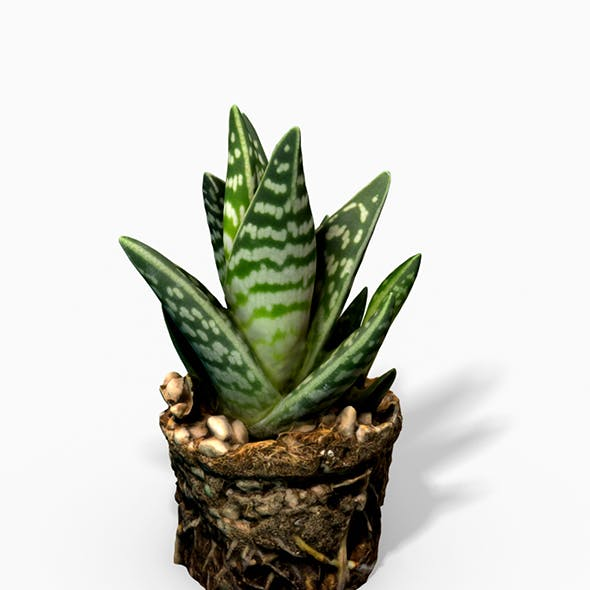 Gasteria Cactus Plant - Photoscanned PBR