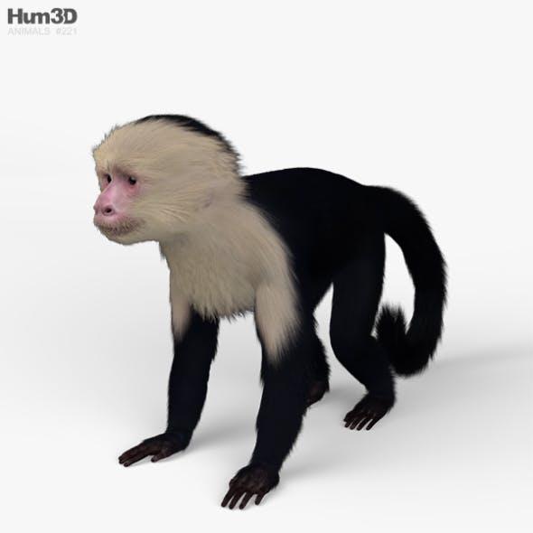 Capuchin HD