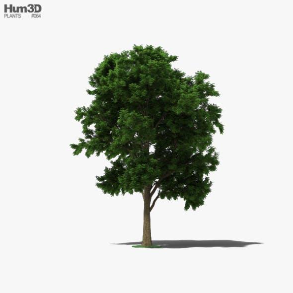 Ash Tree - 3DOcean Item for Sale