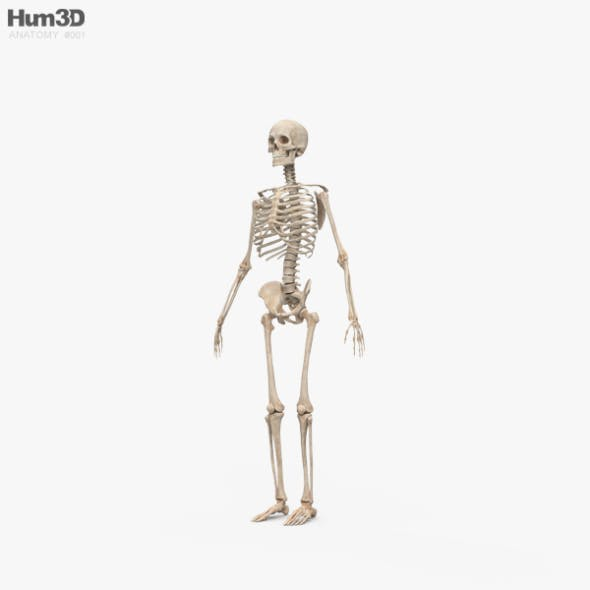 Human Male Skeleton