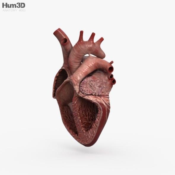 Human Heart Cross Section