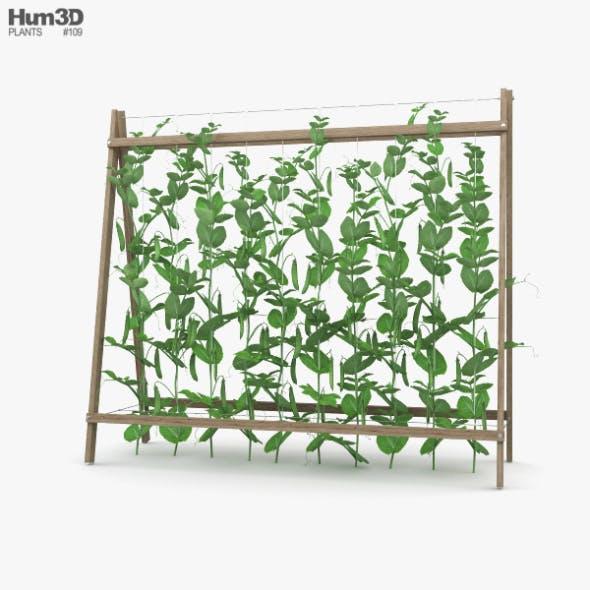 Pea Plant
