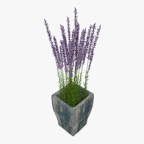Lavander In Wooden Plant Pot
