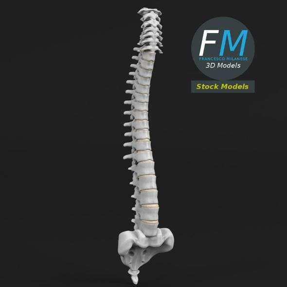 Anatomy - Human spine 2 - 3DOcean Item for Sale