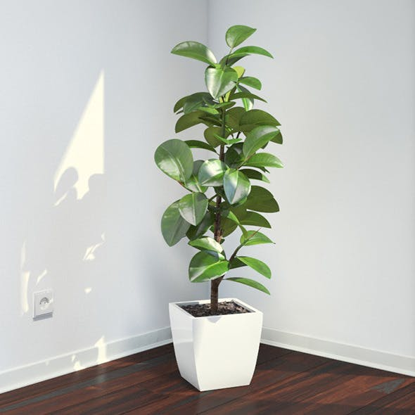 Ficus Elastica - 3DOcean Item for Sale