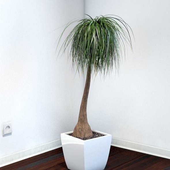 Beaucarnea - 3DOcean Item for Sale