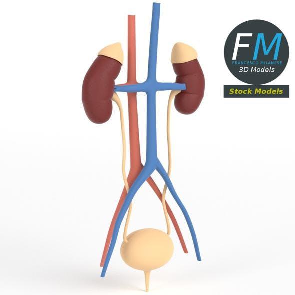 Anatomy - Human kidney and urinary system