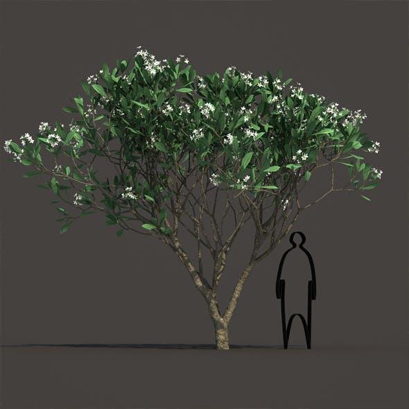 Frangipani - 3DOcean Item for Sale