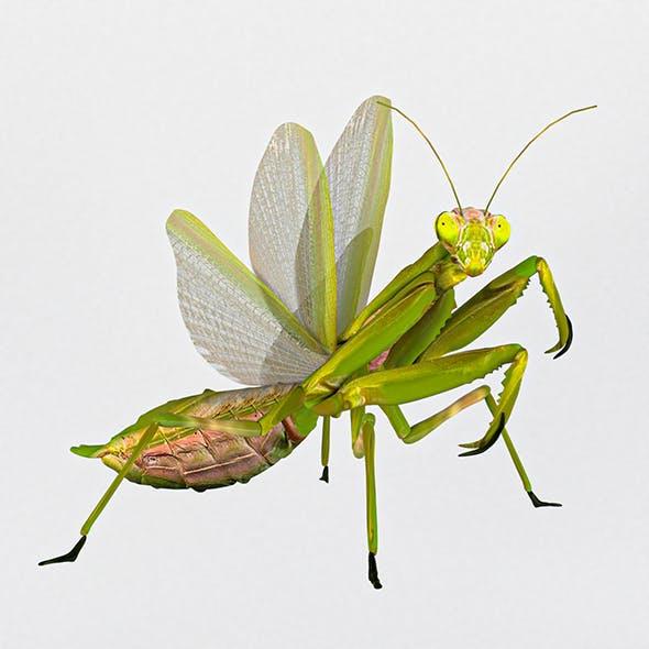 Common mantis