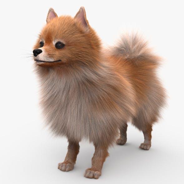 Pomeranian HD