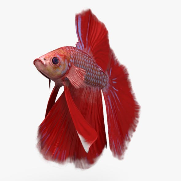 Betta Fish HD - 3DOcean Item for Sale