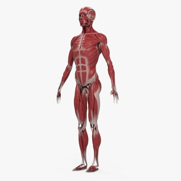 Human Muscular System - 3DOcean Item for Sale