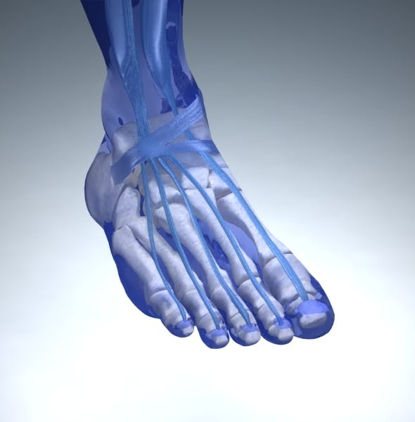 Foot Anatomy with Vray Materials and Textures - 3DOcean Item for Sale