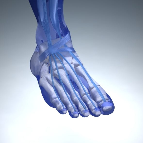 Foot Anatomy with Vray Materials and Textures