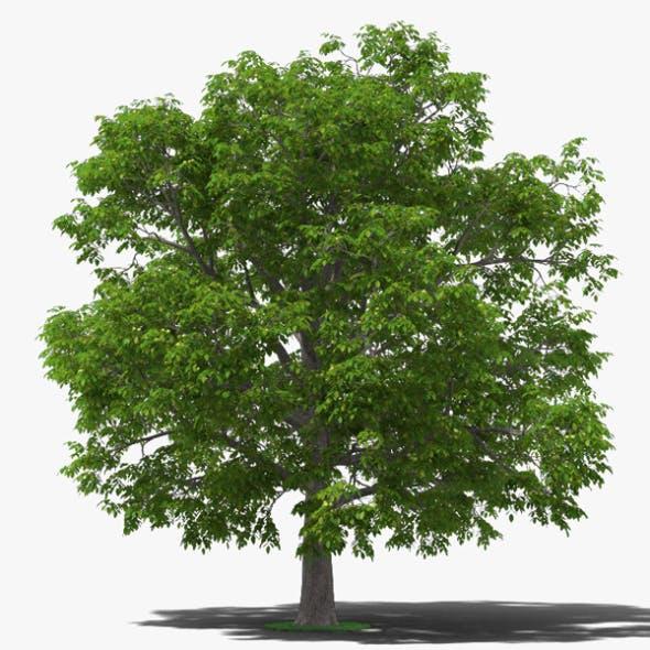 Walnut Tree - 3DOcean Item for Sale