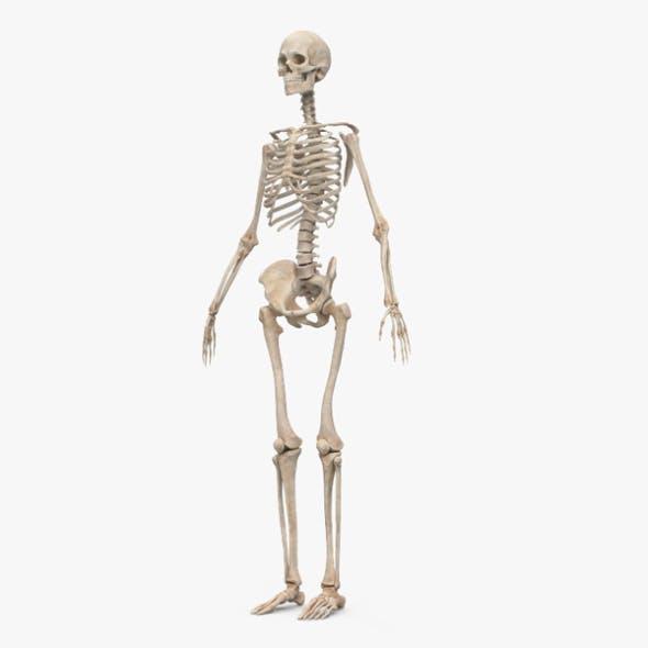 Human Female Skeleton - 3DOcean Item for Sale