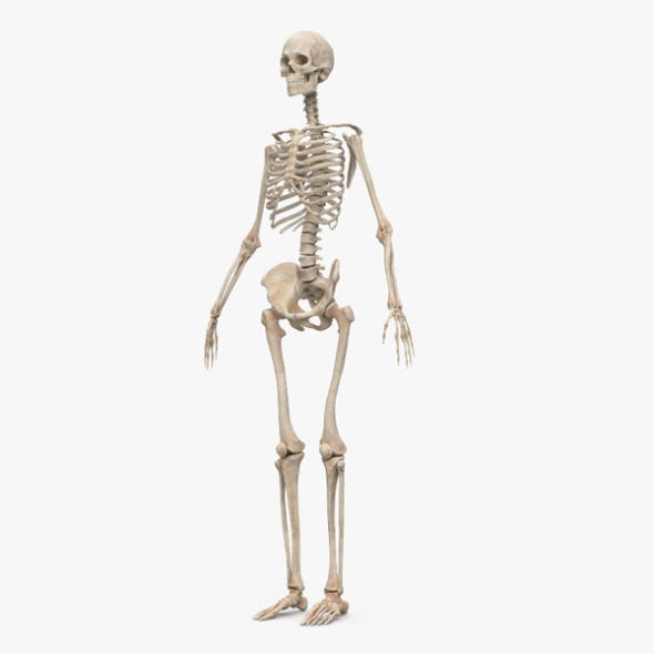 Human Female Skeleton