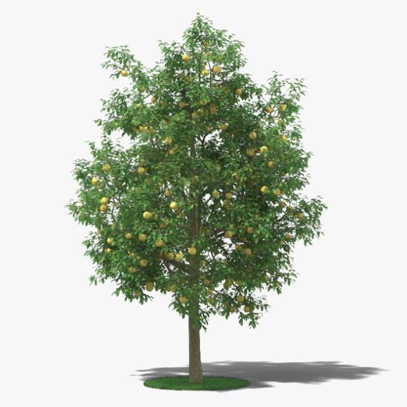 Grapefruit Tree - 3DOcean Item for Sale