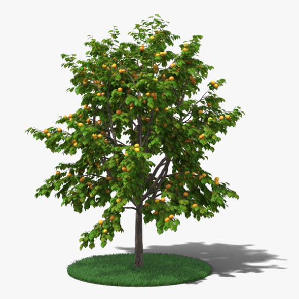 Apricot Tree - 3DOcean Item for Sale