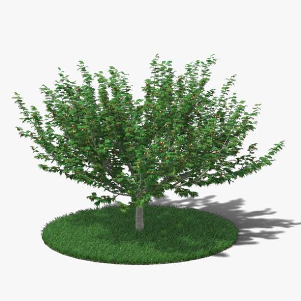 Hazelnut Tree - 3DOcean Item for Sale