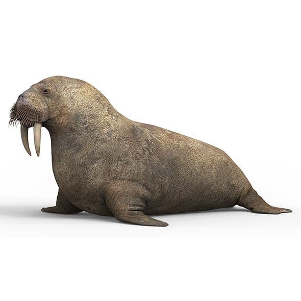 Walrus With PBR Textures