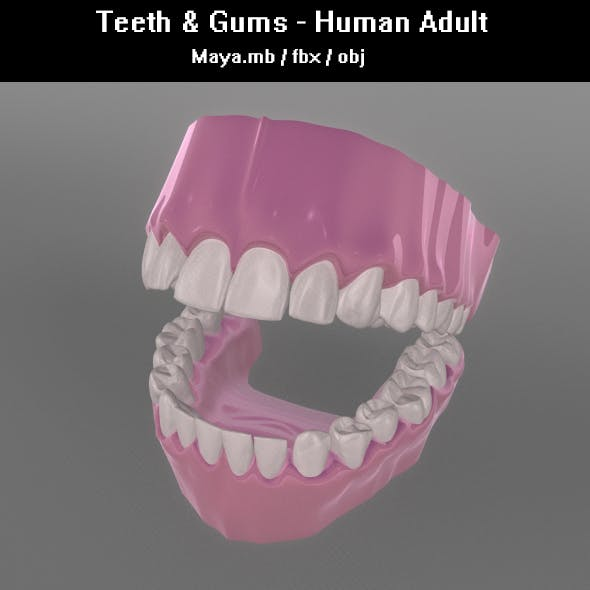 Teeth & Gums - Human Adult