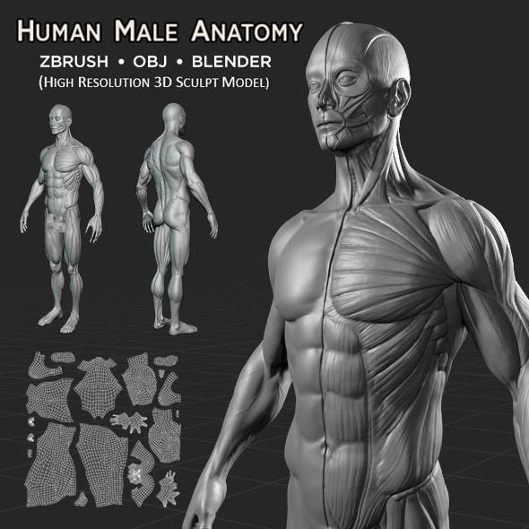 Human Male Anatomy V1.0 - 3DOcean Item for Sale