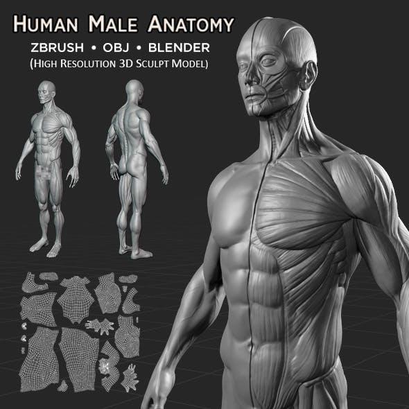 Human Male Anatomy V1.0