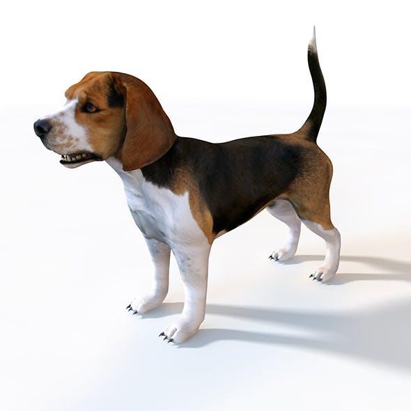 Beagle dog 3d model