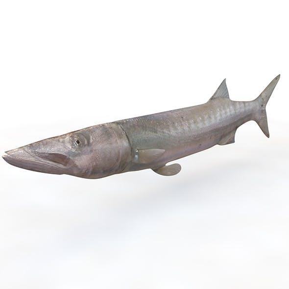Barracuda fish 3d model