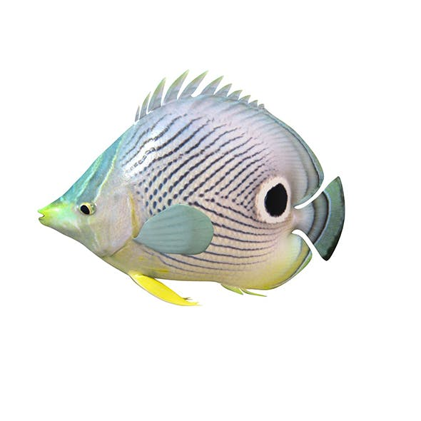 Four eye butterfly fish 3d model