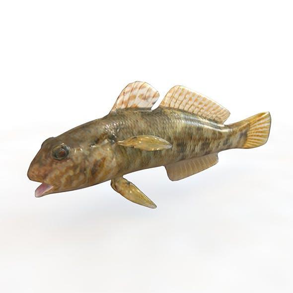 Frillfin goby fish 3d model