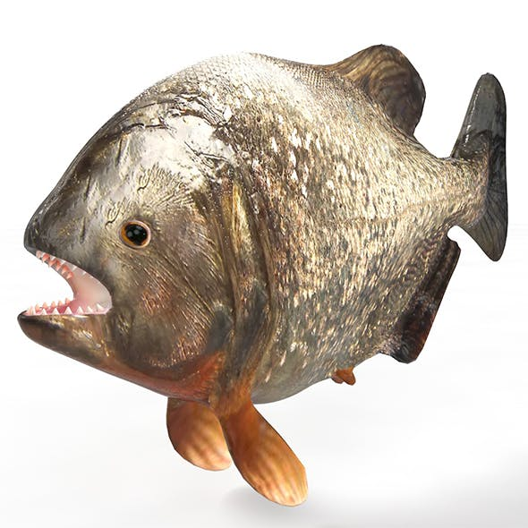 Piranha fish 3d model