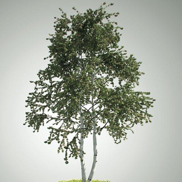 Tree betula pendula