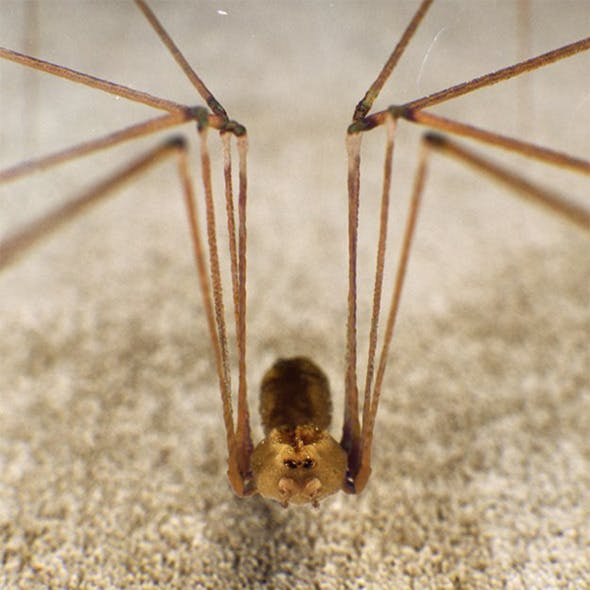 Spider Pholcus Phalangioides
