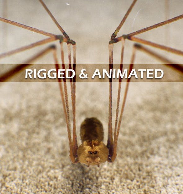 Spider Pholcus Phalangioides (rigged) - 3DOcean Item for Sale