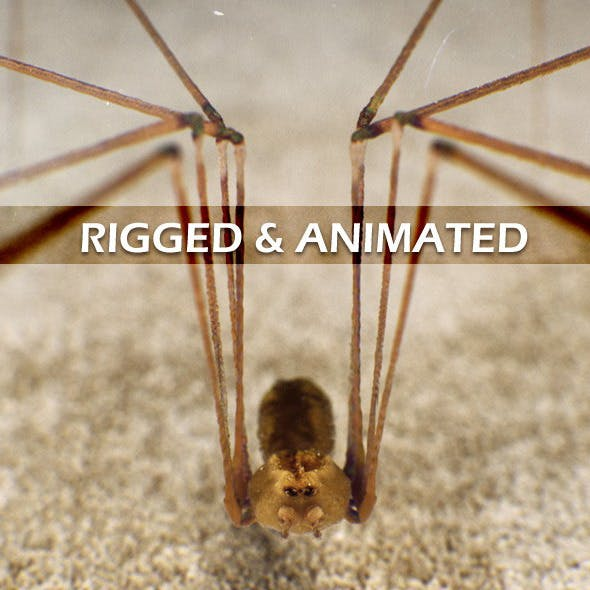 Spider Pholcus Phalangioides (rigged)