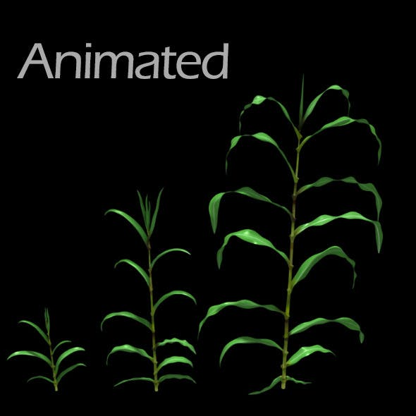 Corn Plant Growth (Animated)