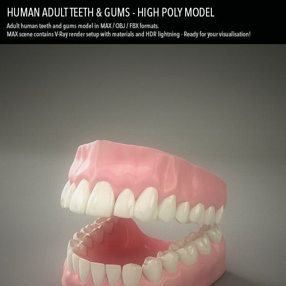 Teeth & Gums - Human Adult