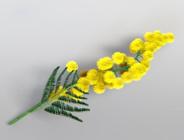 Mimosa - Acacia Dealbata (Silver Wattle) - 3DOcean Item for Sale
